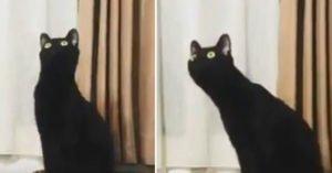 大眼黑貓超靈活脖子「變長變短」 這根本是無臉男的化身吧XD
