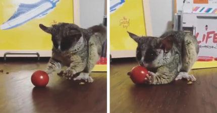 番茄混球堆滾過去 鼠狐猴接住一聞:啊娘喂~是食物!