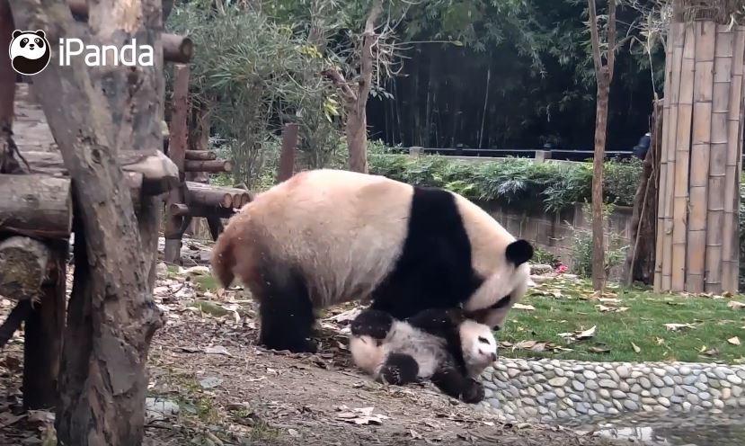 他是妳儿子啊威~猫熊妈把熊宝当屁垫 网笑哭:好想帮忙打113 -1-99
