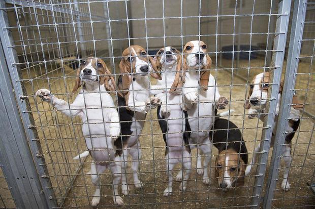小狗仔出生到現在不認得食物 每天醒來只有「針頭伺候」就為幫人類活得更久