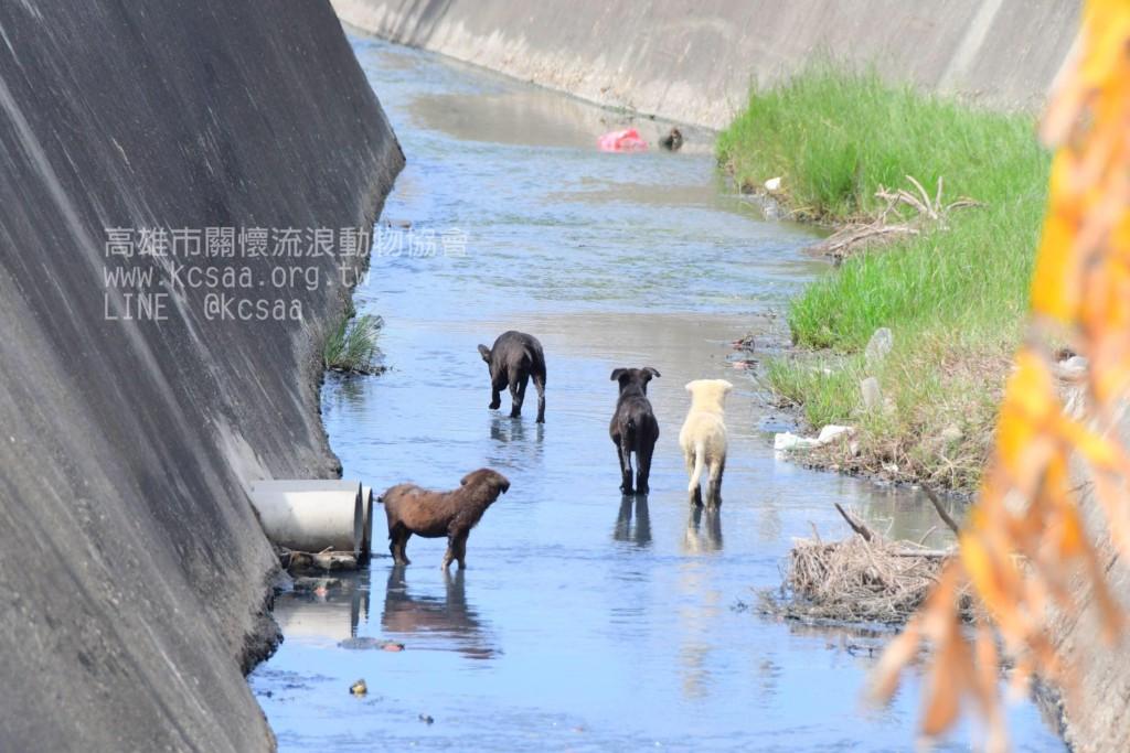 肚子餓哭哭!4小狗受困河道 高雄狗媽媽每天跳3公尺來回餵養