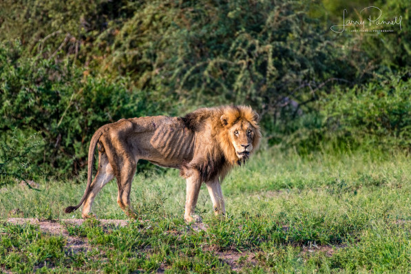 前獅王失去領導地位 攝影師拍下「孤獨活活餓死」探討生命本質