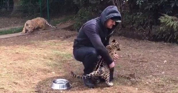 為什麼不抱我!小老虎怒走向保育員「下秒超萌舉動」融化全網