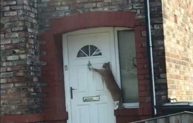 地表最有禮貌!喵星人回家「先拉門環」:我可以進來嗎?