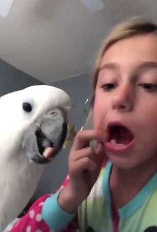 小蘿莉牙齒鬆鬆又不敢拔...超聰明鸚鵡「探頭一秒拉」:牙醫系畢業的?