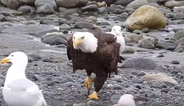 老鷹站著時霸氣外露 但一走路...形象嚴重崩壞!