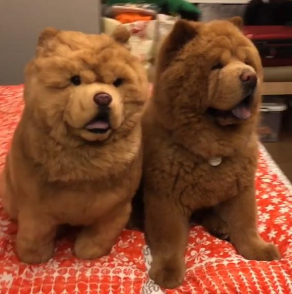 尾巴捲度都相同!肥鬆獅和娃娃並坐 「光看背面」你一定會認錯