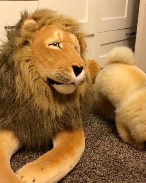 博美對獅子娃娃發出「愛的電波」 慘遭無視...直接惱羞成怒!