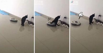 掃地機器人逼近! 黑貓忙吵架一腳轉向:去旁邊玩沙,別來煩我