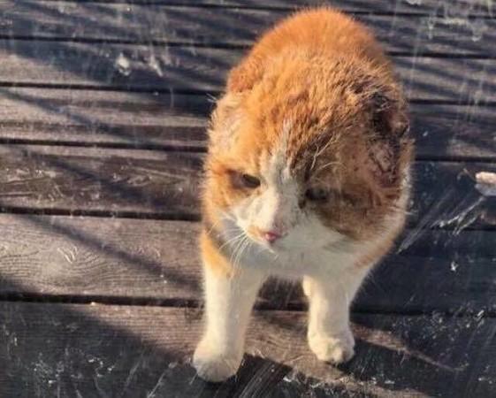 流浪7年耳朵被凍壞萎縮 貓咪「不信任人類」...救援後眼神變了