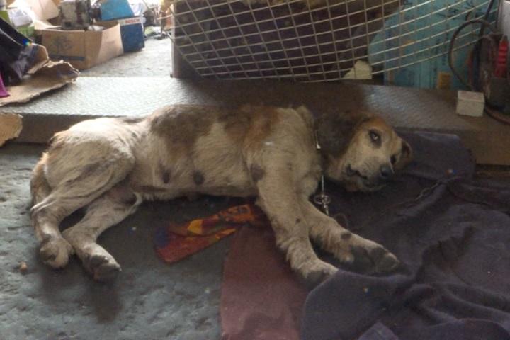 獸醫利用「小狗肚子運貨」 切腹拿完直接丟路邊自生自滅
