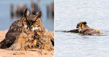 貓頭鷹被攻擊掉海裡!他想救援卻驚見「國家隊蝶泳英姿」