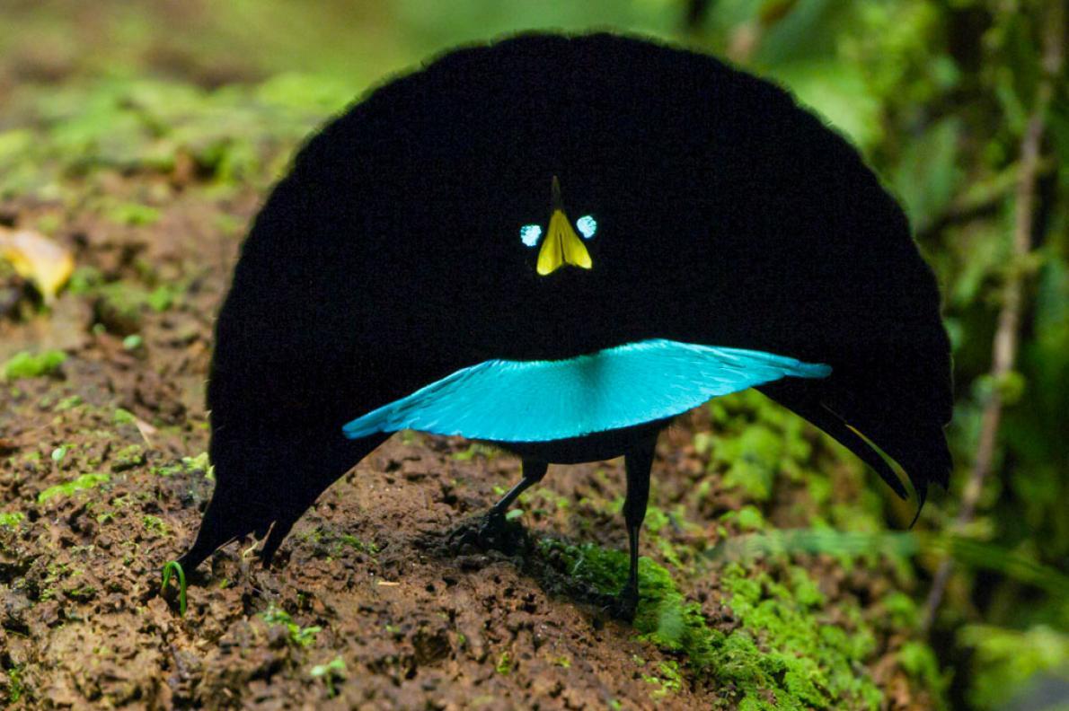 不能更黑了!靠羽毛吸收99.5%光線 天堂鳥展翅宛如外星生物♥