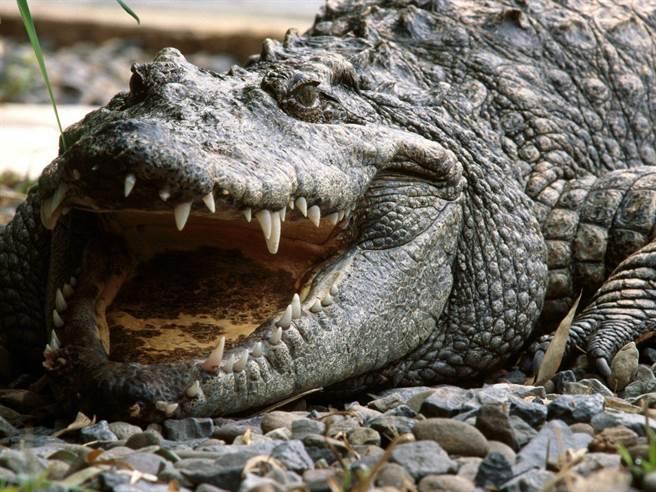 大媽公園遛狗遇到4尺巨鱷 最後「只剩下2隻狗徘徊公園」:救救我馬麻~