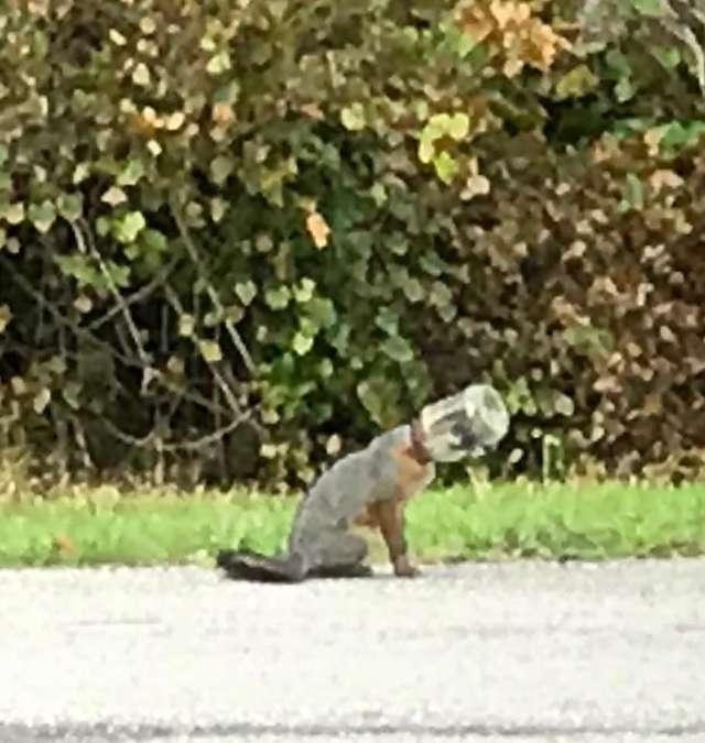 玻璃瓶怪搖頭晃腦逛街 消防隊偷偷靠近一拔:原來是隻狐狸啊!