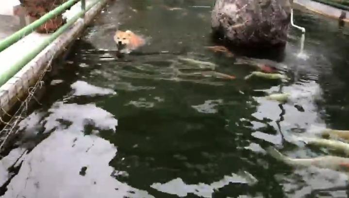 100坪泳池玩不夠萌柴「跳進鯉魚池」 回頭燦笑:馬麻~魚都不跟我玩!