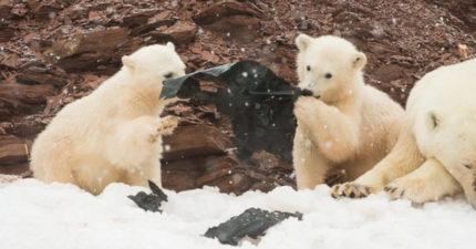 北極熊寶寶終於有食物吃?近看才驚覺是「人類的惡」