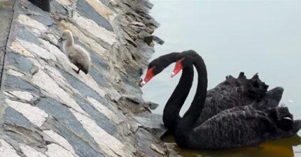 影/黑天鵝寶寶怕水躲岸邊 爸媽無奈求助人類:幫我把這屁孩抱下來~