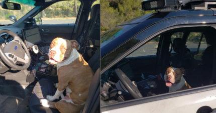 葛格可以幫我嗎?機靈比特犬走丟 找員警求救「跳警車露憨笑」:走吧找馬麻去