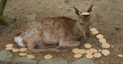 奈良鹿吃一堆仙貝卻嚴重營養不足 揭「鹿仙貝」製造內容物根本人類的垃圾