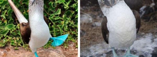 稀有「大藍腳」怪鳥!求偶時瘋狂抬高腳「謎樣走路法」:這大小滿意嗎?