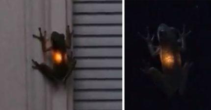青蛙不小心吃了「螢火蟲」 結果自己就開始發光了