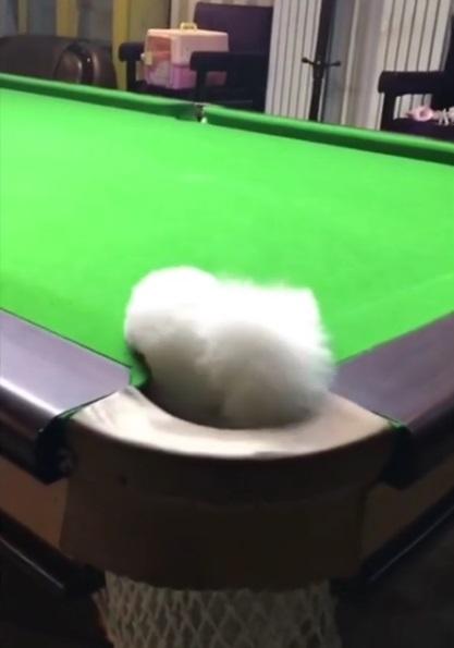 超萌小白跟主人尬撞球 球桌上奔馳直接「一桿進洞」:你這樣犯規啦♡