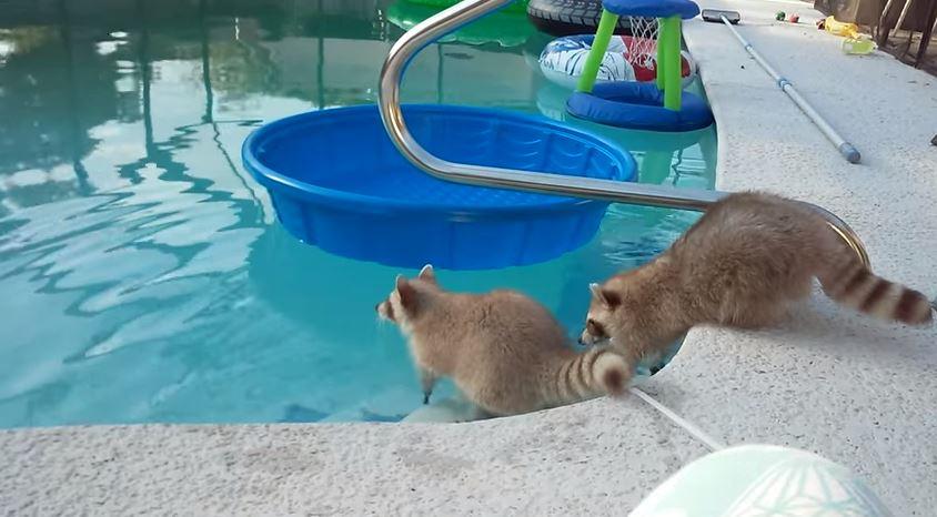 浣熊弟泳池玩水超開心 哥哥一臉擔心伸手拉:那邊HEN危險快上來~