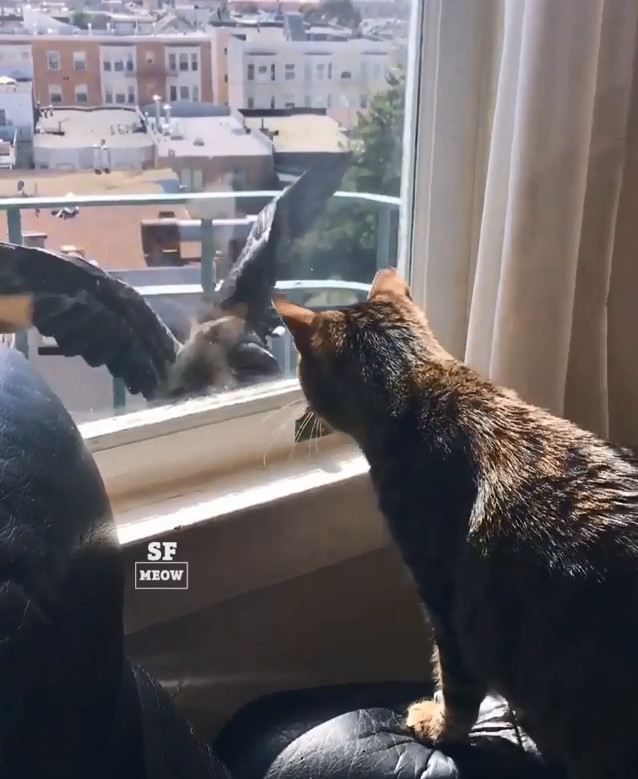 流氓烏鴉窗前偷窺 貓皇火大直接單挑...三秒後:現在是在兇幾點啦QQ