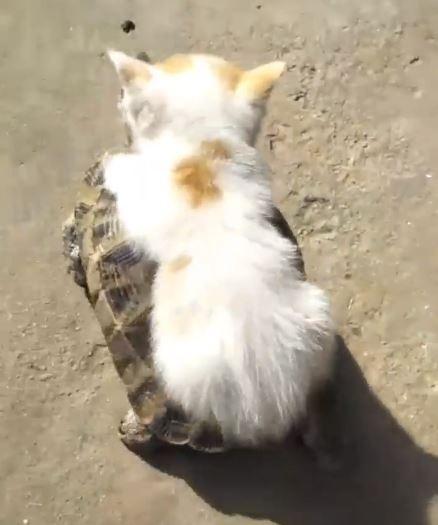 朕的新座骑!奶油小猫逛沙滩 趴小陆龟「快啊!朕饿了~」 -1-34