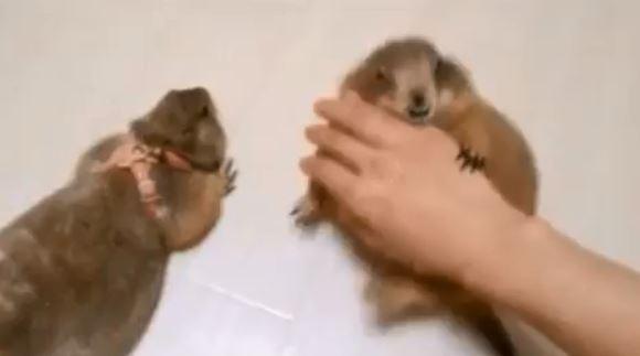 鼠界宮廷劇上演!土撥鼠「吃醋狂爭寵」:誰准你摸別人~