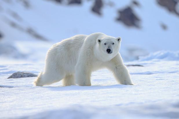 挪威遊船闖棲地!北極熊攻擊警衛遭強制「上天堂」 負責人:一切照規矩走