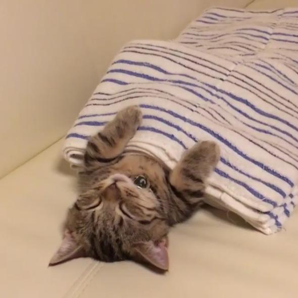 奴才貼心幫小貓蓋被 一掀開「阿兵哥睡姿」Q到翹腳腳♥