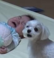 小主人哭哭「保姆汪」好慌 仰天「啊~嗚」幫安撫:別哭了啦!