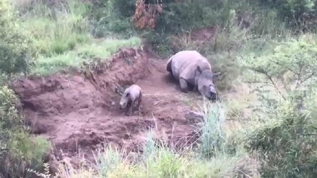 媽媽遭盜獵者拔角 犀牛寶寶喚不回:媽,起來啊~你快點起來呀