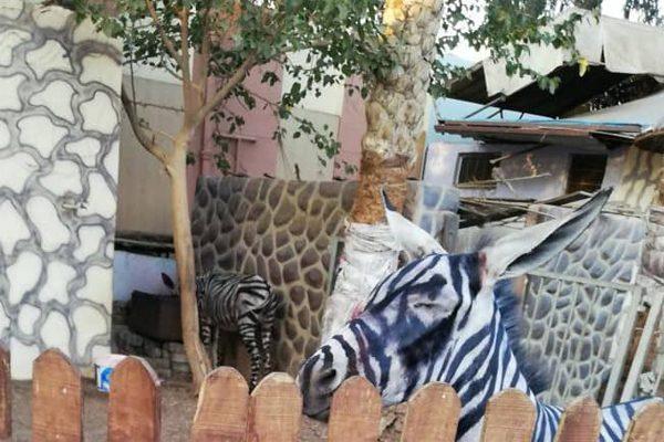 逛動物園驚見「斑馬掉色了」!太熱戳破真面目園方裝死到底
