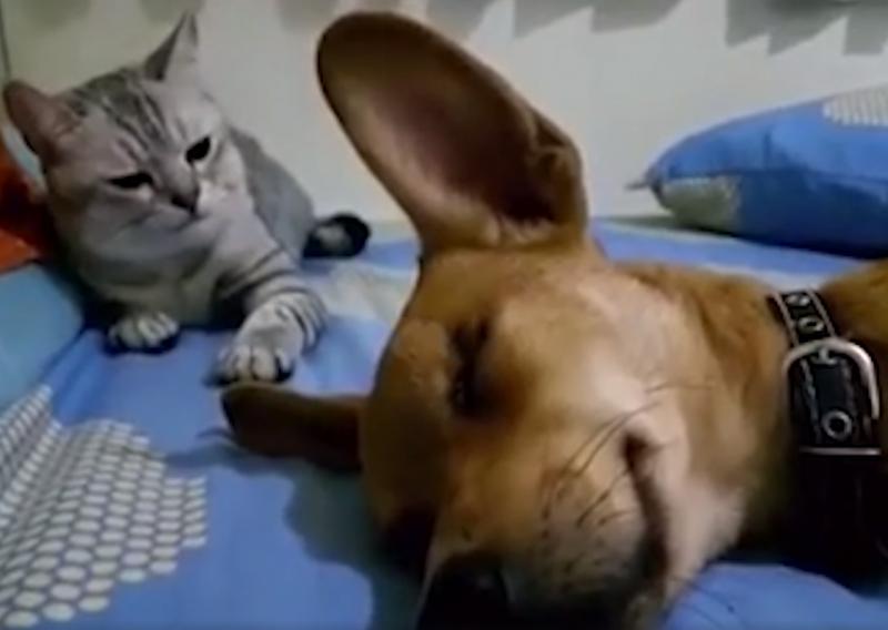 影/汪汪睡一半突然放屁 喵皇臭味波及「猛巴2下頭」:臭死!給老子起來