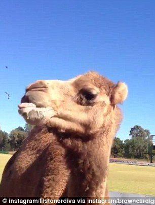 他小酌一半駱駝突衝過來 整罐咬走「豪邁厚搭」:宋啦~
