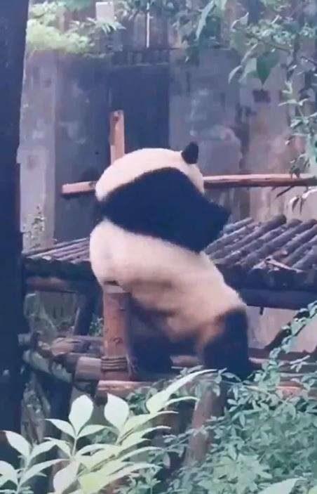貓熊喬6種角度「嚕木棒」止癢 網笑暈:姿勢一看就母湯