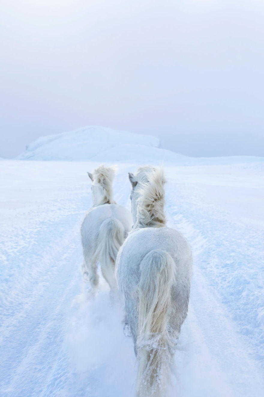 攝影師拍下「冰島神獸足跡」 披純白毛皮奔馳雪地根本神話出來!