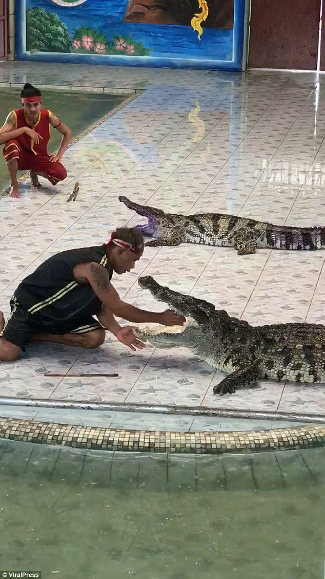 影/泰國訓練師把手放嘴裡 下一秒鱷魚暴怒「當雞腿」加菜!