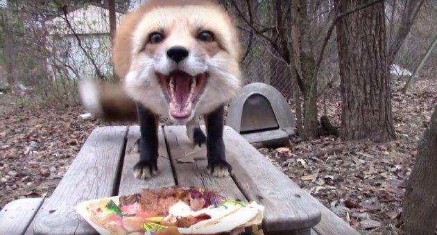 有汪靈魂的小狐狸!每天「和主人討摸摸」 翻肚撒嬌:快點摸偶~