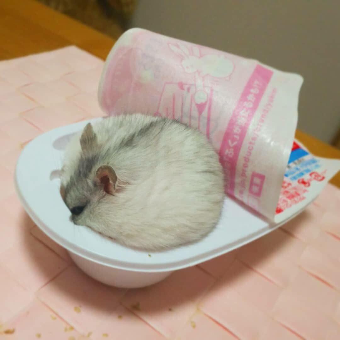 吃貨倉鼠「被cos可口大福」 盒子滿到屁屁都溢出啦~
