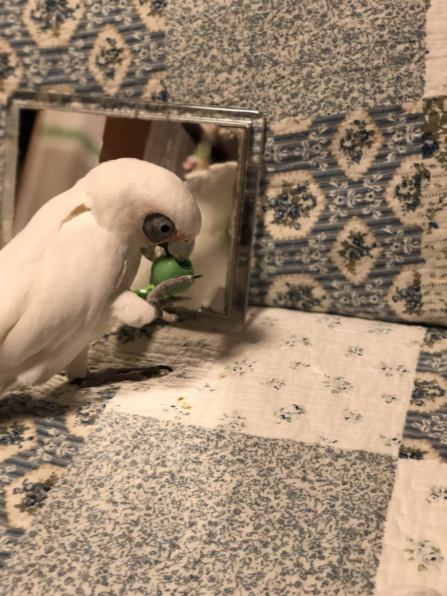 小鸚鵡鏡子前「麥可魂上身」 大跳《Beat it》超搖滾:嗨起來~