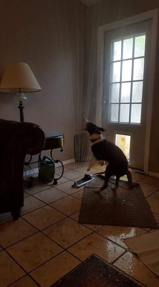 汪星人咬「灑水器」進屋 家具「全泡水」牠超嗨:好好玩!