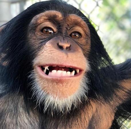 影/出生就被猩媽遺棄 小猩猩見人類爸媽「想起童年」飛撲擁抱:別丟下我