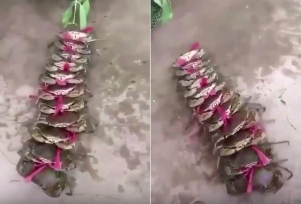 蟹生好難!11隻螃蟹綑一長串「橫行逃亡」 老鼠屎裝死:偶放棄~