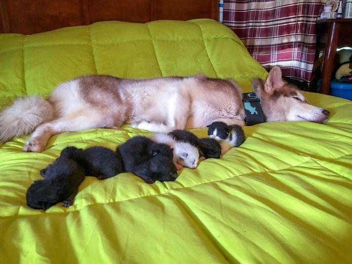 誰說牠笨?哈士奇揪主人「森林救7奶貓」 母愛大噴發:我的寶貝呀~