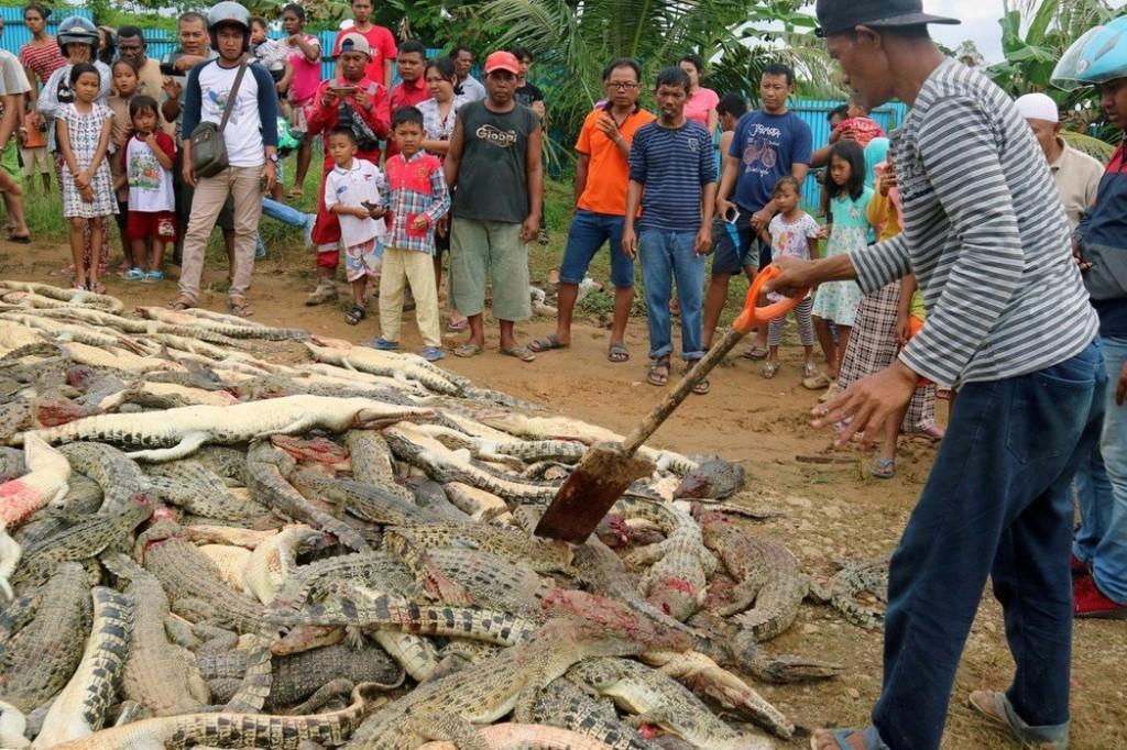 他擅闖養殖場偷草被咬死 同村的氣PUPU滅掉「292隻大小鱷魚」堆小山洩憤