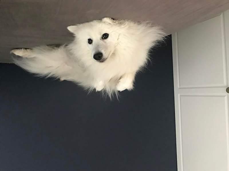 16隻「氣球狗狗」黏天花板 滿滿慵懶感+醜萌表情:睡到升天❤️️